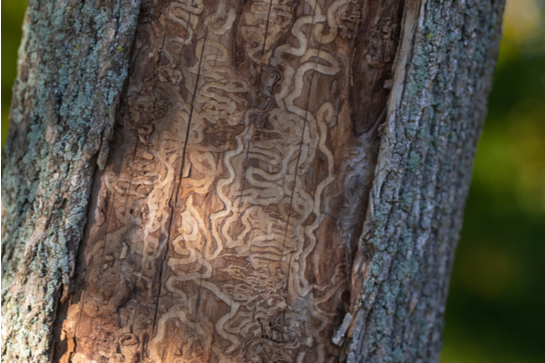 A tree which has been infested by emerald ash borers