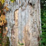 ottawa tree damaged by beetle